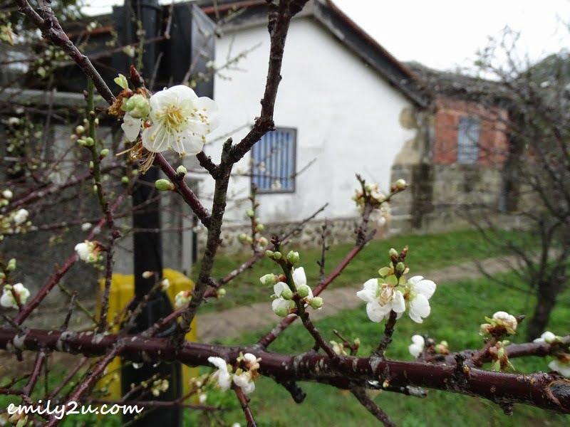 sakura blooms