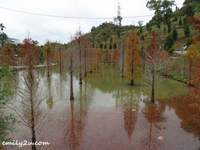 7. rows and rows of bald cypress trees (taxodium distichum)