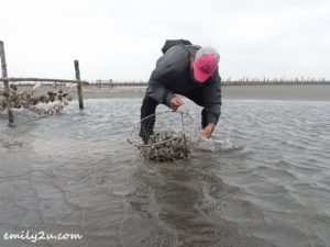 10 oyster harvesting