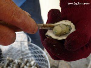 15 oyster harvesting