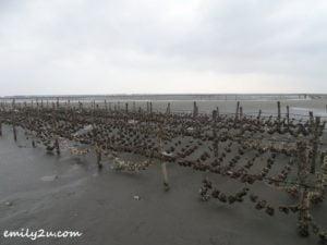 4 oyster harvesting