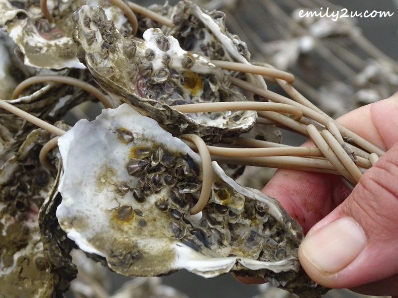 cultivating oysters