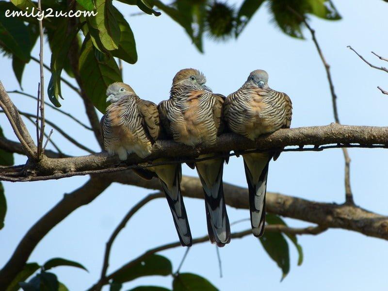 three merboks perch on a rambutan tree