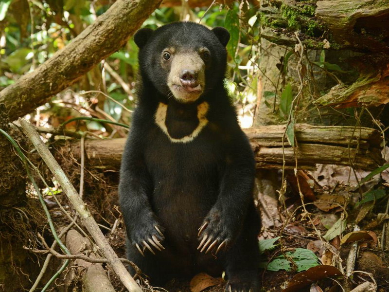 Bornean Sun Bear Conservation Centre (Photo: BSBCC)