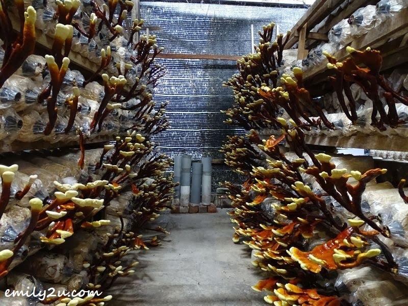 gano tanduk rusa @ Wonder Farm Mushroom Sdn. Bhd.