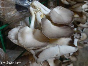 5 Wonder Farm Mushroom