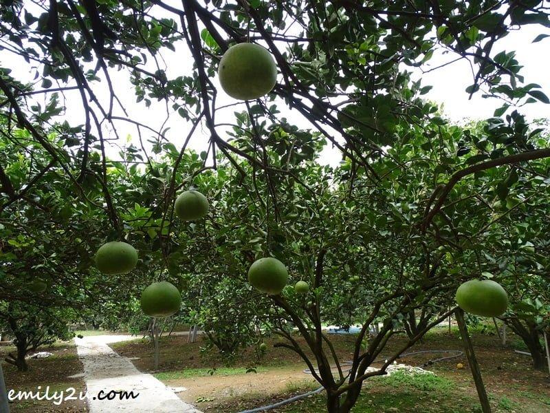 GOChin pomelo farm