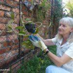 Donna replanting the Hoya in her garden