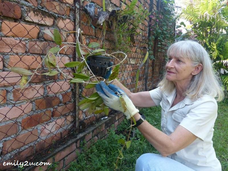 Donna replanting the Hoya in her garden