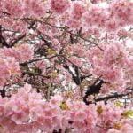 Izu_Geo_Trail_Cherry_blossom
