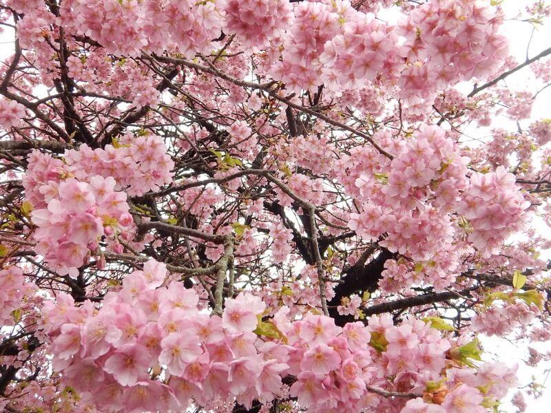 Izu Geo Trail Cherry Blossom