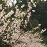 Walk Japan_Cherry Blossom_3