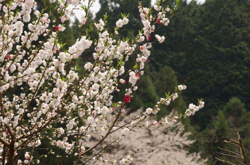 Walk Japan Cherry Blossom