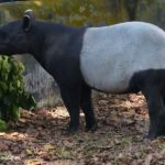 adult tapir feeding on leaves, twigs and vegetation