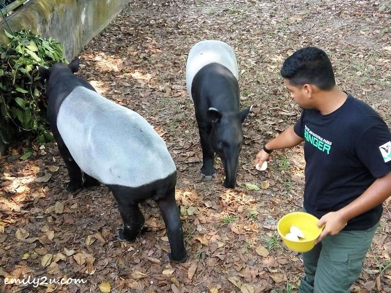 adult tapirs feeding time