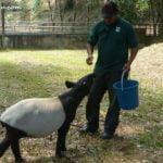 feeding time for a baby tapir