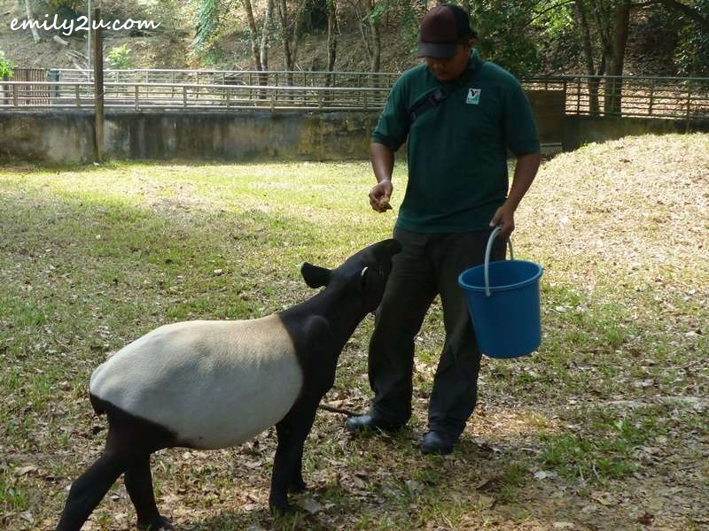 feeding time for a baby tapir