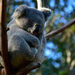 koala by Dan Kb on Unsplash
