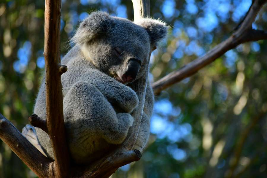 koala (credit: Photo by Dan Kb on Unsplash)