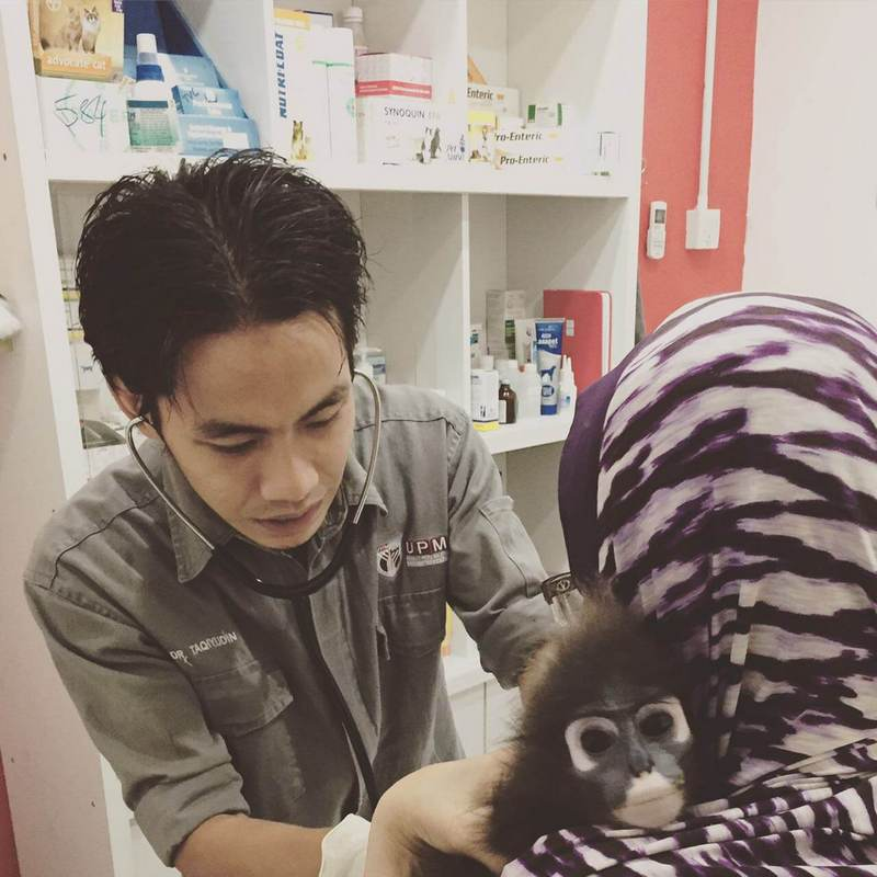 Dr. Taq treats a dusky leaf monkey at his clinic