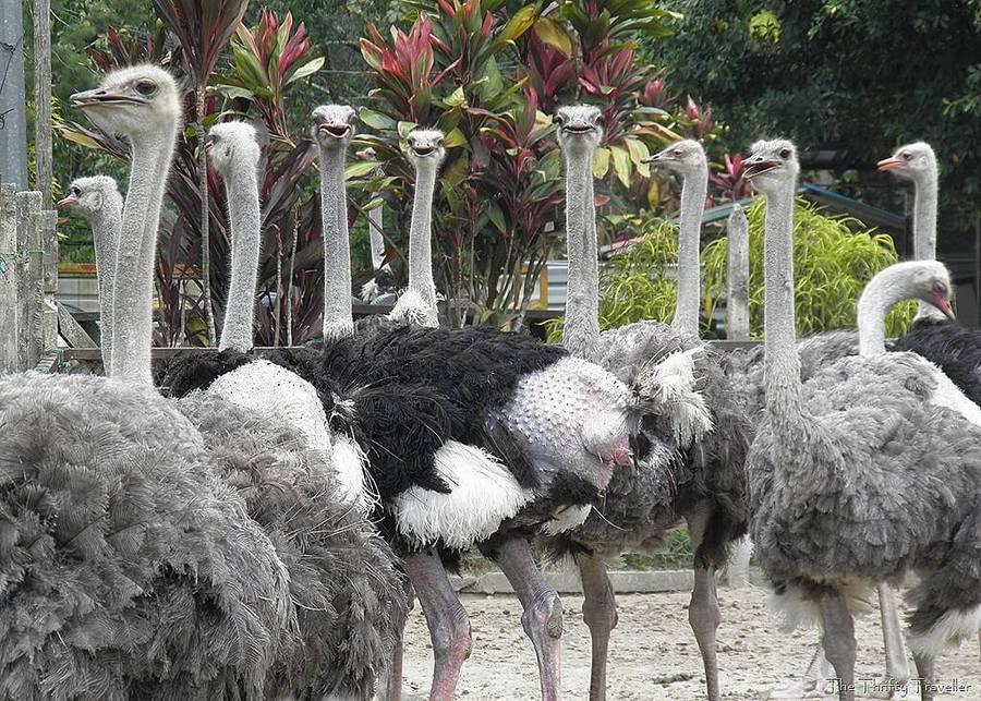 Ostrich Wonderland Semenyih by The Thrifty Traveller